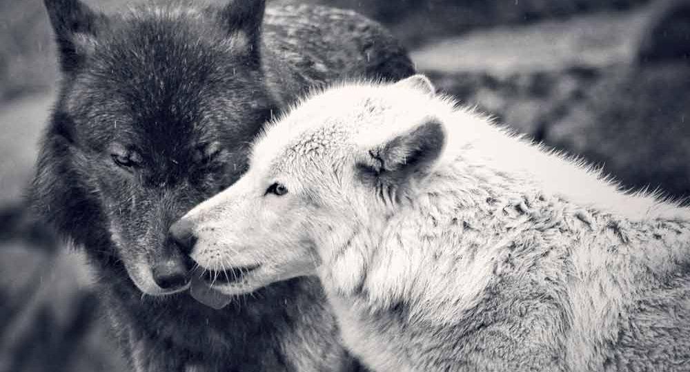 dois_lobos